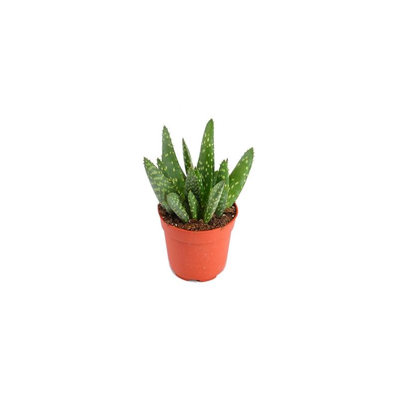 Vente De Plante Grasse Aloe Paradisicum