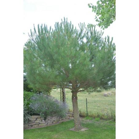 Pinus pinéa  (pin parasol )