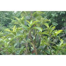 Eriobotrya japonica (néflier du japon )