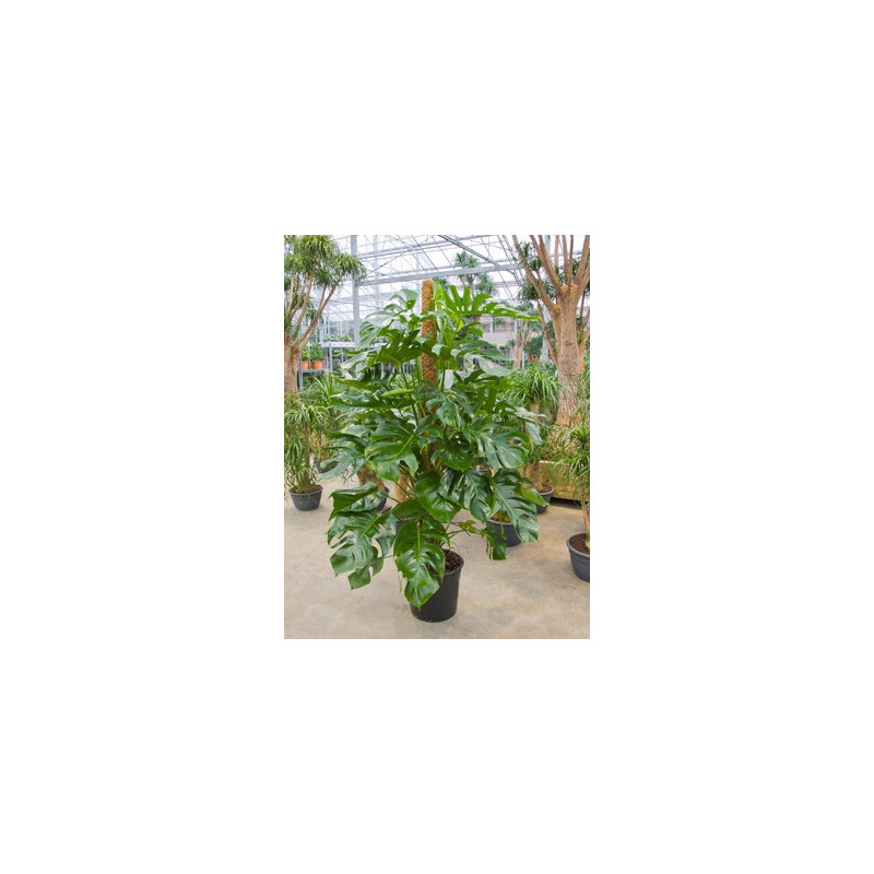 philodendron pertusum - grandes tailles
