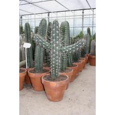 stetsonia coryne 85 cm