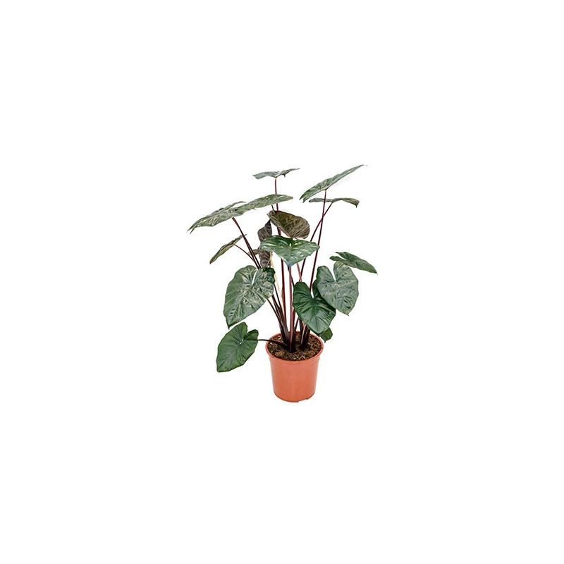 Vente de plantes d 39 int rieur alocasia for Alocasia d interieur
