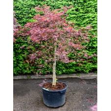 Vente Dérable Du Japon Acer Palmatum Dissectum Nigrum