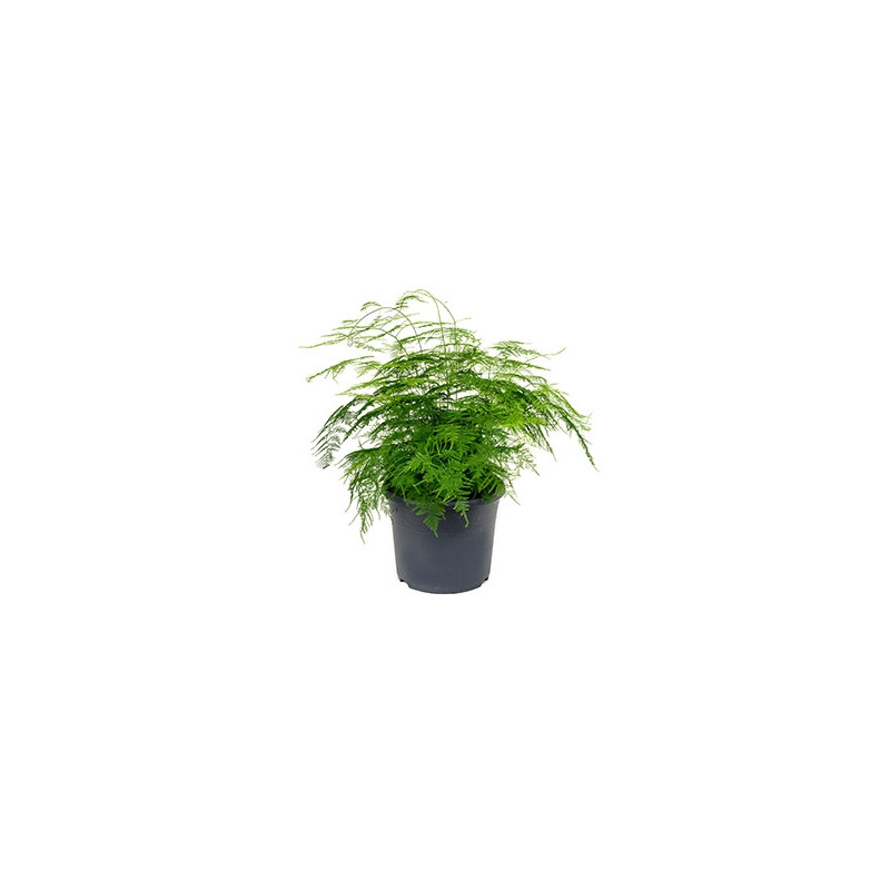 Vente de plantes vertes asparagus plumosus for Vente de plantes