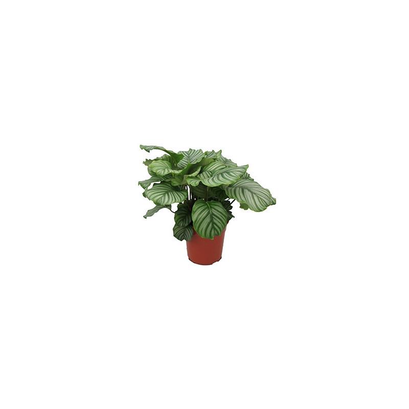 Vente de plantes vertes calathea orbifolia for Vente de plantes