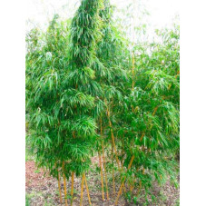Bambou géant -...