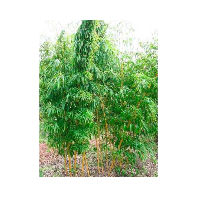 vente de bambou g ant phyllostachys vivax aureocaulis. Black Bedroom Furniture Sets. Home Design Ideas