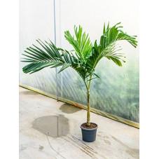 veitchia merrillii - 200 cm