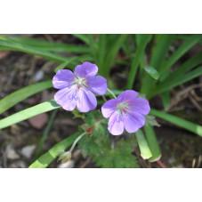 géranium vivace Rozanne