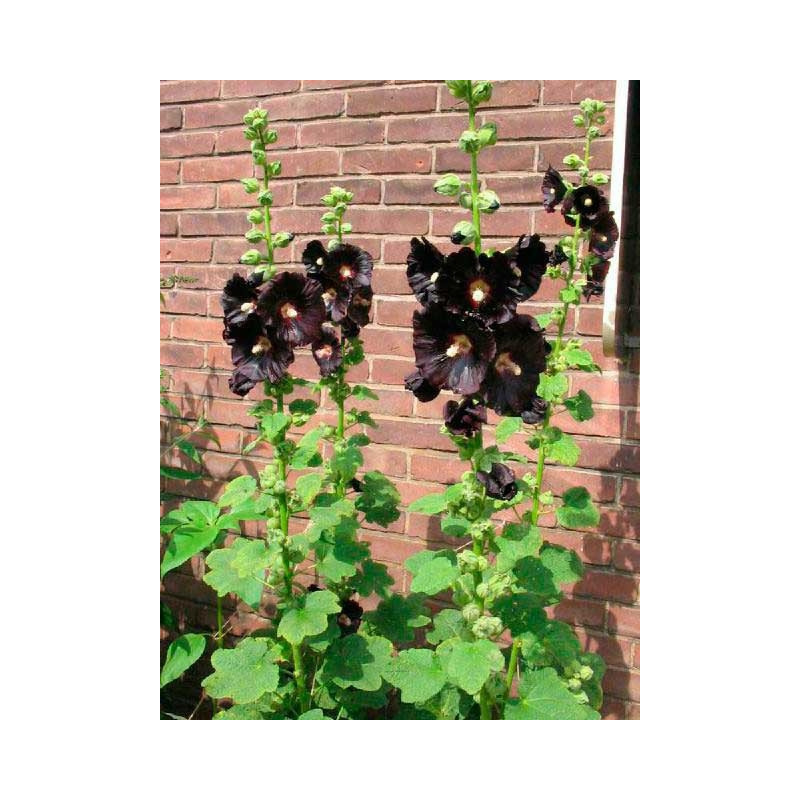 vente de rose tr mi re alcea rosea nigra. Black Bedroom Furniture Sets. Home Design Ideas