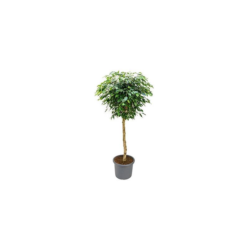 Vente de plantes vertes ficus benjamina for Vente plante verte