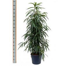 ficus alii - 140 cm