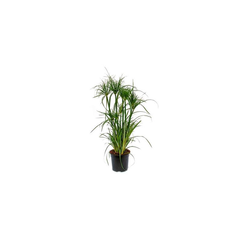 plante papyrus exterieur excellent papyrus plante with plante papyrus exterieur papyrus. Black Bedroom Furniture Sets. Home Design Ideas