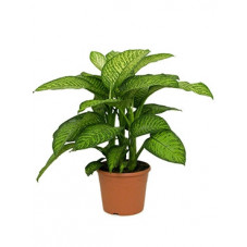 dieffenbachia tropic jewel