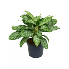 aglaonema green light  -...