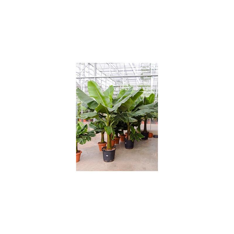 le bananier a de superbes et grandes feuilles de couleur verte son port rig et vas exposition ensoleille et claire en intrieur