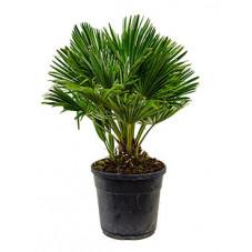 palmier nain compact