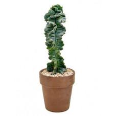 cereus forbesii spiralis -...