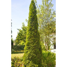 "Thuja occidentalis ""emeraude"""