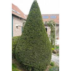 Taxus baccata forme conique