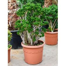 crassula horntree 110 cm