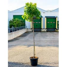 chêne des marais green dwarf tige circonférence 8/+ cm - en pot de 20 litres
