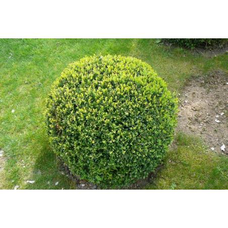 Buxus sempervirens boule