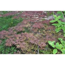 Acer palmatum atropurpureum ( érable pourpre du japon )