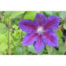 Clématite bleu Julka