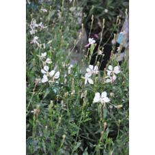 gaura lindheimeri geyser blanc