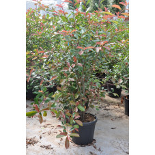 Photinia fraseri red robin...