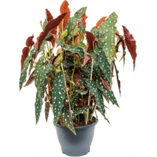 bégonia maculata - tamaya