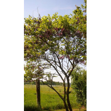 Cercis siliquastrum(arbre de judée)