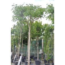 albizia tronc 20/25 cm - hauteur 400/450 cm - pot de 110 litres