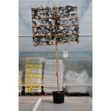 espalier tronc circ. 14 cm - ht. 200 cm - cadre hauteur 120 cm - largeur 140 cm - pot 50 litres