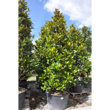 magnolia grandiflora -...