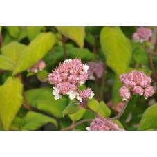 hortensia aspera macrophylla