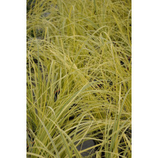 herbe de la Pampa -...