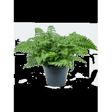 fougère asplenium parvati