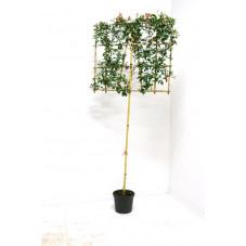 circonférence tronc 8 cm - hauteur tige 200 cm + cadre espalier Ht. 140 cm - larg. 120 cm