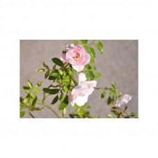 Rosier pleureur rose - New...