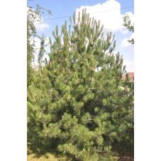 Pinus nigra austriaca (pin noir d'Autriche)
