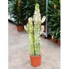 Euphorbia erythrea variegatum
