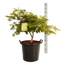 érable du Japon à feuille d'Aconit hauteur 50/60 cm extra - pot de 35 litres