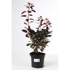 arbre à perruque royal purple à feuilles pourpre