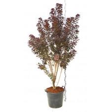 arbre à perruque à feuilles pourpres - hauteur 150/175 cm - pot de 70 litres