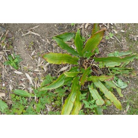 asplenium scolopendrium (langue de cerf) (fougère)