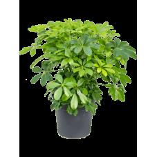 Schefflera arboricola 70 cm