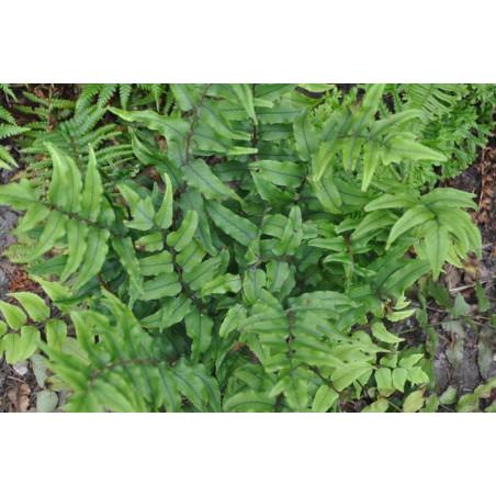 Cyrtomium falcatum   (fougère )