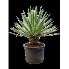 agave angustifolia 90 cm